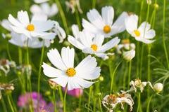 Flores blancas del cosmos Imagenes de archivo