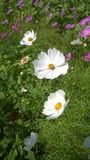 Flores blancas del cosmos Fotos de archivo