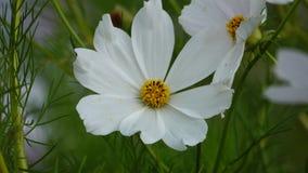 Flores blancas del cosmos en cierre para arriba almacen de metraje de vídeo