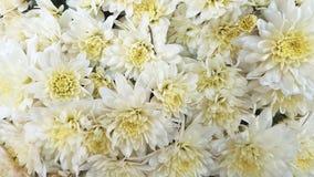 Flores blancas del crisantemo Imagen de archivo