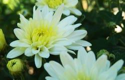 Flores blancas del crisantemo Foto de archivo libre de regalías