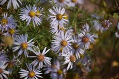 Flores blancas del crisantemo Fotos de archivo libres de regalías
