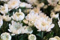 Flores blancas del crisantemo en el jardín Fotos de archivo