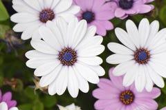 flores blancas del dimorphotheca Fotos de archivo libres de regalías