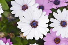 flores blancas del dimorphotheca Imagen de archivo