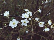 Flores blancas del flor Fotografía de archivo
