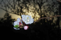 Flores blancas del flor del ciruelo Imágenes de archivo libres de regalías