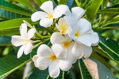 Flores blancas del Frangipani Imágenes de archivo libres de regalías