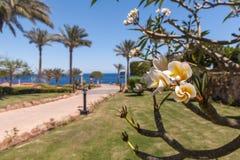 Flores blancas del frangipani con las hojas Imágenes de archivo libres de regalías