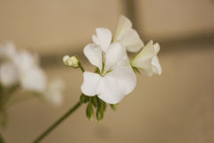 Flores blancas del geranio en rama Fotos de archivo libres de regalías