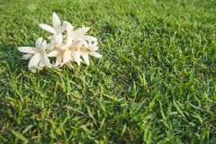 Flores blancas del hortensis de Millingtonia en el césped imagenes de archivo