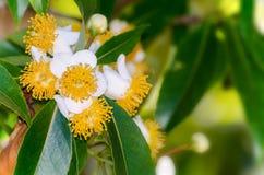 Flores blancas del inophyllum del Calophyllum Foto de archivo