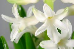 Flores blancas del jacinto Fotografía de archivo