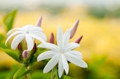 Flores blancas del jazmín Imagen de archivo libre de regalías