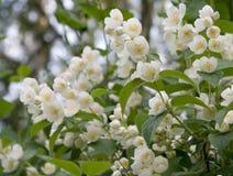 Flores blancas del jazmín Foto de archivo