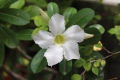 Flores blancas del lirio de impala Fotos de archivo