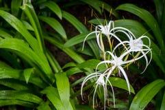 Flores blancas del lirio de la araña imágenes de archivo libres de regalías