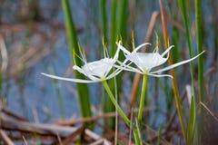 Flores blancas del lirio de la araña Foto de archivo