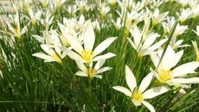Flores blancas del lirio de los zephyranthes Foto de archivo libre de regalías