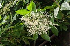 Flores blancas del manojo del Sambucus, arbusto verde de las hojas Fotos de archivo