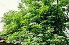 Flores blancas del manojo del Sambucus, arbusto verde de las hojas El diverso Imágenes de archivo libres de regalías