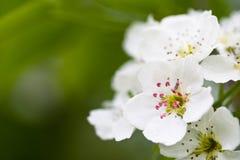 Flores blancas del manzano Imagen de archivo