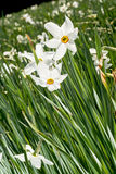 Flores blancas del narciso Fotos de archivo libres de regalías