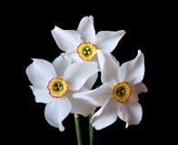 Flores blancas del narciso Foto de archivo libre de regalías