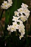 Flores blancas del narciso Foto de archivo