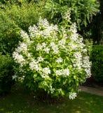 Flores blancas del paniculata de la hortensia Imágenes de archivo libres de regalías