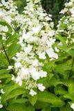 Flores blancas del paniculata de la hortensia Foto de archivo libre de regalías