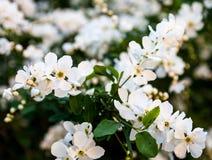 Flores blancas del peral Imagenes de archivo