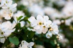 Flores blancas del peral Fotografía de archivo