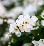 Flores blancas del peral Fotos de archivo