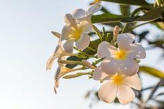 Flores blancas del Plumeria del ‹de The†con la luz hermosa, fondo del sol de la falta de definición del frangipani fotos de archivo libres de regalías