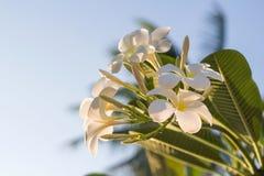 Flores blancas del Plumeria del ‹de The†con la luz hermosa, fondo del sol de la falta de definición del frangipani imágenes de archivo libres de regalías