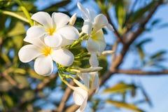 Flores blancas del Plumeria del ‹de The†con la luz hermosa, fondo del sol de la falta de definición del frangipani foto de archivo libre de regalías
