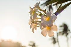 Flores blancas del Plumeria del ‹de The†con la luz hermosa, fondo del sol de la falta de definición del frangipani foto de archivo