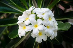 Flores blancas del Plumeria Imagenes de archivo