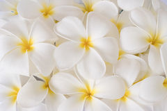 Flores blancas del plumeria Imagen de archivo