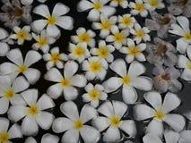 Flores blancas del plumeria Foto de archivo
