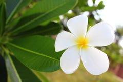 Flores blancas del plumeria en el jardín Imagen de archivo libre de regalías