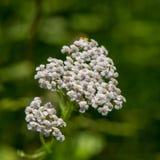 Flores blancas del prado Fotos de archivo