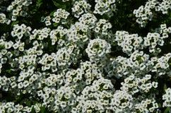 Flores blancas del primer Foto de archivo libre de regalías