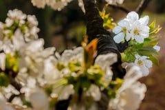 Flores blancas del ?rbol frutal fotografía de archivo