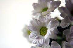 Flores blancas del resorte Foto de archivo