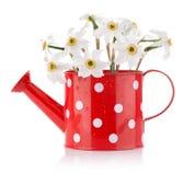 Flores blancas del resorte en florero rojo Fotografía de archivo libre de regalías