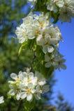 Flores blancas del resorte en una ramificación de árbol Imagen de archivo libre de regalías