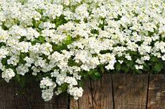Flores blancas del resorte y cerca de madera Fotos de archivo