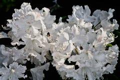 Flores blancas del rododendro Foto de archivo